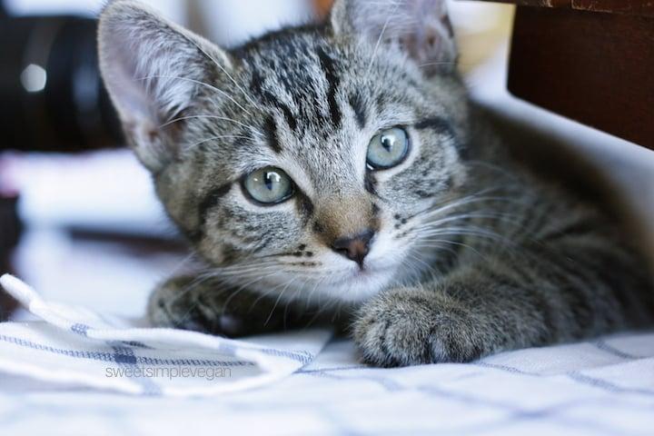 Cheap Easy Diy Cat Collar Minimal Sewing Sweet Simple