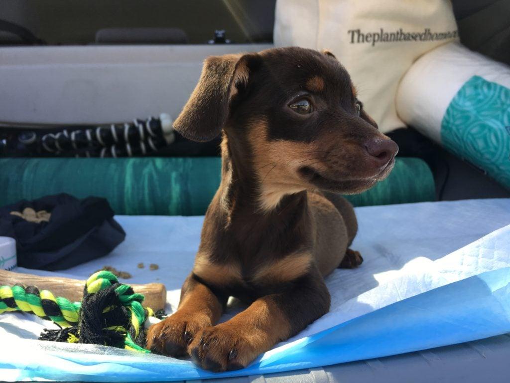 Chiweenie Puppy on pee pad